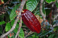 Cacao pod on tree. In the jungles of Dominicana Royalty Free Stock Image