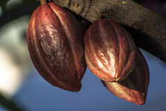 Cacao pod. On tree theobroma cacao - stage of ripening, in Brazil stock image