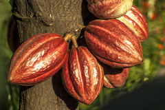 Cacao pod. On tree theobroma cacao - stage of ripening, in Brazil stock photos