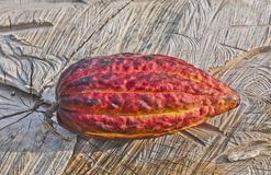Cacao Pod. Whole Cacao pod shown against the grain of a tree trunk stock photography