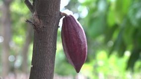 Cacao pods on cocoa fruit tree ready to pick. Close up stock video footage