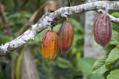 Cacao pods royalty free stock photos