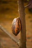 Cacao pods on tree, cacao farm tree. Cacao pods on tree, cacao farm tree Royalty Free Stock Photography