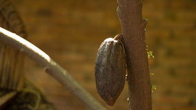 Cacao pods on tree, cacao farm tree.  Royalty Free Stock Image