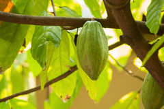 Cacao pods on tree, cacao farm tree.  Stock Photography