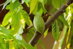 Cacao pods on tree, cacao farm tree.  Royalty Free Stock Photography