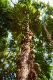 Cacao sauvage Images libres de droits