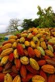 Cacao strąki w Ekwador fotografia stock