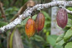 Cacao strąki Zdjęcia Royalty Free