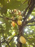 Cacao tree Stock Image