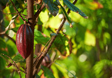 Cacao tree closeup. With ready for harvest cocoa pod Royalty Free Stock Image