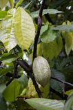Cacao tree. With cocoa beans Royalty Free Stock Photos