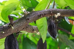 Cacao tree. With flower and fruit. Cacao cocoa beans used to make a cocoa powder and chocolate Royalty Free Stock Image