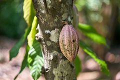 Closeup photo of cacao tree. Cacao tree with a fruit on the blurry nature background on Sri Lanka. Closeup horizontal photo Stock Images