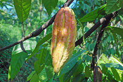 Cacao tree fruit or cacao pod red-green coulered. Cacao fruit a huge berry called cacao pod on a tree (Theobroma cacao) with green leaves - Red-green coloured Stock Photo