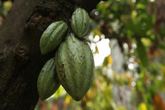 Cacao Tree (Theobroma cacao). Royalty Free Stock Photo