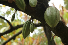 Cacao Tree (Theobroma cacao). Royalty Free Stock Images