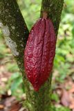 Cacao Tree - Theobroma cacao - Organic cocoa fruit. Pods Royalty Free Stock Photo
