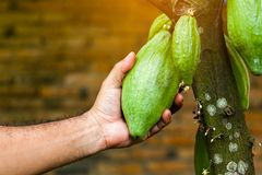 Cacao Tree & x28;Theobroma cacao& x29;. Organic cocoa fruit pods in nature. Cacao Tree & x28;Theobroma cacao& x29;. Organic cocoa fruit pods in nature Stock Images