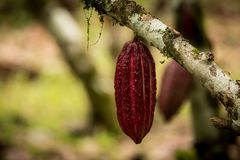 Cacao Tree Theobroma cacao. Red cacao bean hang on tree . Macro of natural cocoa pod Royalty Free Stock Photos