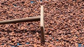 Cacaobonen die in de zon op een bamboemat drogen stock afbeeldingen