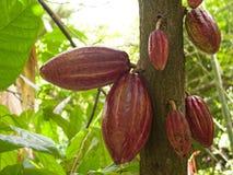 Cacaobonen in een de cacaoaanplanting van cacaotheobroma in de stad van chuao dichtbij choroni op de Caraïbische kust in Venezuel stock fotografie