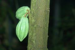 Cacaoboom royalty-vrije stock fotografie
