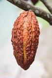Cacaofruit Royalty-vrije Stock Afbeeldingen