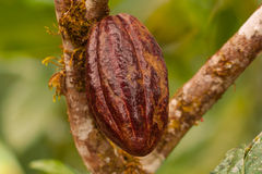 Cacaofruit Royalty-vrije Stock Fotografie