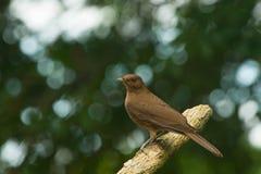 Cacaolijster, Turdus-fumigatus Royalty-vrije Stock Foto's