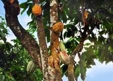 Cacaopeul op boom stock foto's