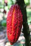 Cacaovruchten op boom Stock Fotografie