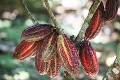 Cacaovruchten op boom Stock Afbeelding