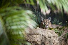 Cacaral Desert Lynx Stock Photos