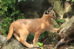 Cacaral juvenile. The strolling juvenile of caracal Royalty Free Stock Photo