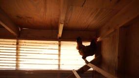 Cacarejo solitário da galinha video estoque