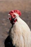 Cacareo del gallo Imagenes de archivo