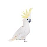 cacatúa Azufre-con cresta, aislada en blanco imagenes de archivo