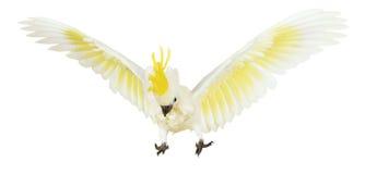 cacatúa Azufre-con cresta en el fondo blanco fotografía de archivo