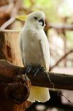 Cacatúa blanca Foto de archivo libre de regalías