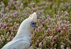 Cacatúa blanca Corella Fotos de archivo libres de regalías