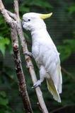 Cacatúa blanca en árbol Fotografía de archivo