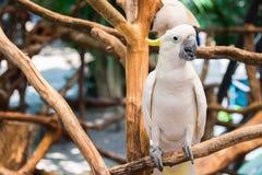 Cacatúa blanca encaramada en rama Imagenes de archivo