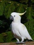 Cacatúa con cresta del azufre Foto de archivo libre de regalías