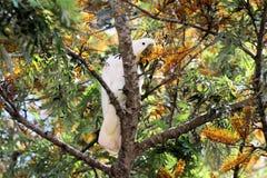 Cacatúa con cresta del azufre en árbol Foto de archivo