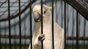 Cacatúa crested azufre blanco en cierre de la jaula para arriba almacen de metraje de vídeo