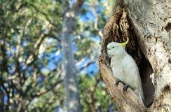 Cacatúa encaramada en hueco del árbol imagen de archivo