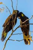 Cacatúa negra atada amarillo en un árbol foto de archivo