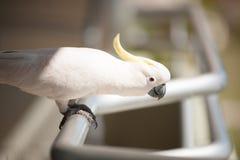 Cacatúa que se sienta en nuestro balcón fotos de archivo libres de regalías