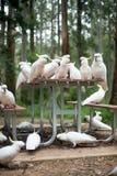 Cacatúas blancas salvajes que se sientan en una mesa de picnic Imagenes de archivo